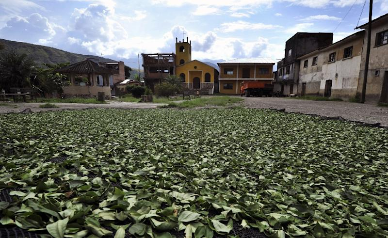 Coca leaves put to dry at the Mururata community in the Bolivian Yungas, north of La Paz, on November 23, 2014 (AFP Photo/Aizar Raldes)