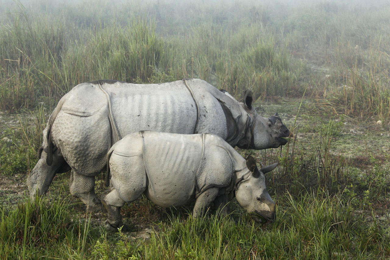 "In this Monday, Dec. 3, 2012 photo, one-horned rhinoceroses graze inside the Kaziranga National Park, a wildlife reserve that provides refuge to more than 2,200 endangered Indian one-horned rhinoceros, in the northeastern Indian state of Assam. Even in this well protected reserve, where rangers follow shoot-to-kill orders, poachers are laying siege to ""Fortress Kaziranga,"" attempting to sheer off the animals' horns to supply a surge in demand for purported medicine in China that's pricier than gold. A number of guards have been killed along with 108 poachers since 1985 while 507 rhino have perished by gunfire, electrocution or spiked pits set by the poachers, according to the park. (AP Photo/Anupam Nath)"
