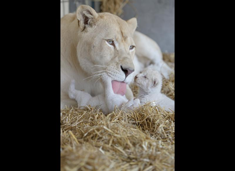 Lion mother Princess licks one of her white lion babies on July 17, 2012 in Kempten, southern Germany. Lion mother Princess gave birth to six white lion cubs on July 11, 2012 at the Circus Krone. AFP PHOTO / TOBIAS KLEINSCHMIDT GERMANY OUT (Photo credit should read TOBIAS KLEINSCHMIDT/AFP/GettyImages)