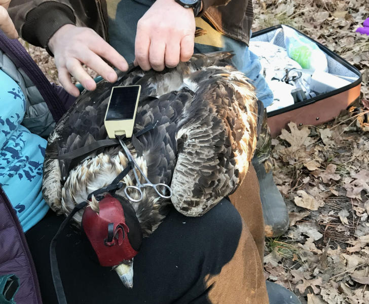 """This photo provided by the Alabama Department of Conservation and Natural Resources, shows a golden eagle dubbed """"Keeton"""" being tagged with a cellular tracking tag on Jan. 24, 2019, at the Oakmulgee Wildlife Management Area. The hood over his head keeps him calm enough to be tagged without sedation. Keeton was among the first golden eagles in Alabama to get tags about half the size of those used earlier. (Briana Stewart/Alabama Department of Conservation and Natural Resources via AP)"""
