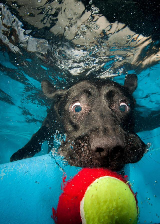 <p>A black Labrador eyes a tennis ball just out of his reach. (Photo: Jonny Simpson-Lee/Caters News) </p>