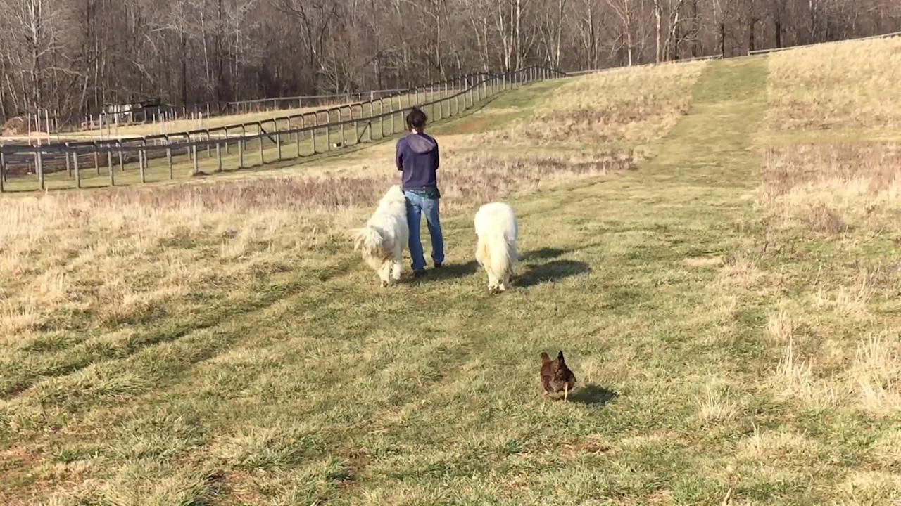 Everyone is welcome to join in on this walk as dogs, chickens, ducks, and goats all follow each other in an orderly fashion. It's a farm animal parade!