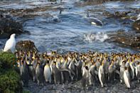 <p>Killer whales suddenly enter a small bay at Subantarctic Marion Island, surprising a small huddle of King Penguins busy preening themselves in the water. This image was named as the winner in the Ecology and Environmental Science category. (PA) </p>