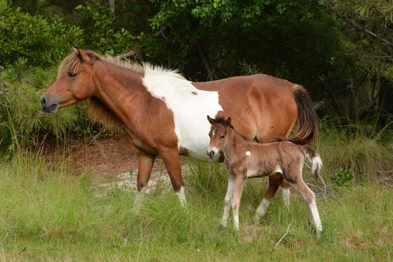 A new foal, N2BHS-ALR, was born on Assateague Island late in the afternoon on Friday, June 22.
