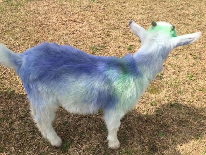 A stolen baby goat was returned to its owner dyed blue, Alabama police say.