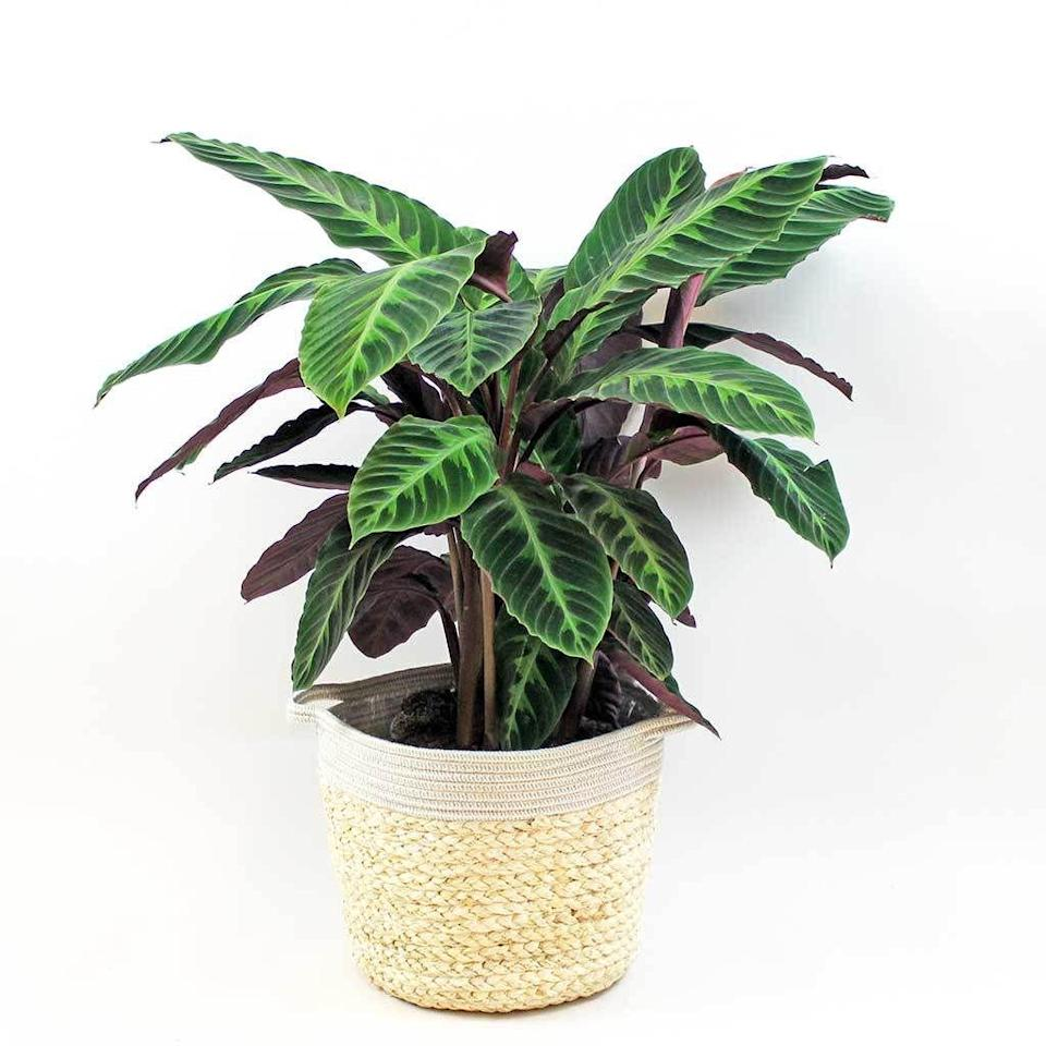 "<p>Predicted to be one of 2021's most popular plants, the Velvet Calathea has dark, sultry foliage that will create the ultimate statement in any home. Originating from the rainforests of Central and South America, this plant loves indirect light, warmth and humidity.</p><p><a class=""link rapid-noclick-resp"" href=""https://go.redirectingat.com?id=127X1599956&url=https%3A%2F%2Fbloomboxclub.com%2Fproducts%2Flarge-calathea-velvet-calathea-warscewiczii&sref=https%3A%2F%2Fwww.countryliving.com%2Fuk%2Fhomes-interiors%2Finteriors%2Fg34583158%2Ftrending-houseplants%2F"" rel=""nofollow noopener"" target=""_blank"" data-ylk=""slk:BUY NOW VIA BLOOMBOX CLUB"">BUY NOW VIA BLOOMBOX CLUB</a> </p>"