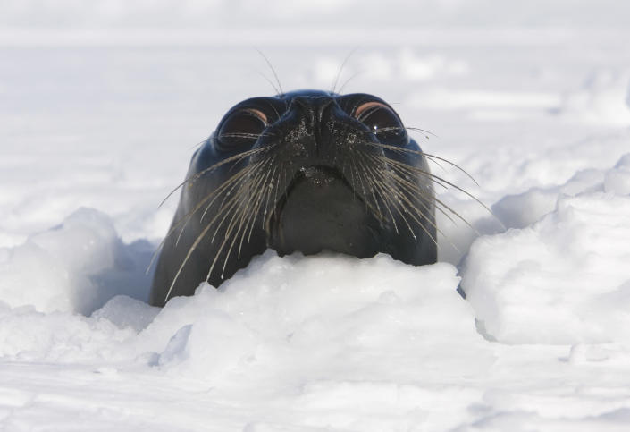 An adult female harp seal sticks her head out of an ice floe off the coast of the Magdalen Islands, Quebec a few weeks before the annual seal hunt on March 3, 2008 (AFP Photo/David Boily)