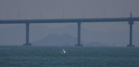 A Chinese white dolphin jumps out of the sea in front of the Hong Kong-Zhuhai-Macau bridge off Lantau island in Hong Kong, China May 30, 2018. Picture taken May 30, 2018. REUTERS/Bobby Yip