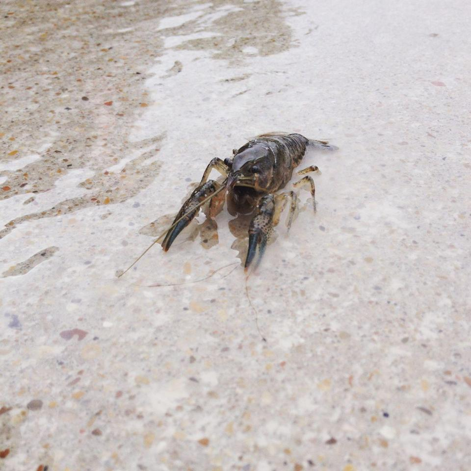 <p><strong>Nashville Crayfish - </strong>This crayfish is exclusive to Davidson and Williamson Counties and has been on the IUCN Red List since 1986. Multiple conservation efforts, like the one at the Nashville Zoo, exist. </p>