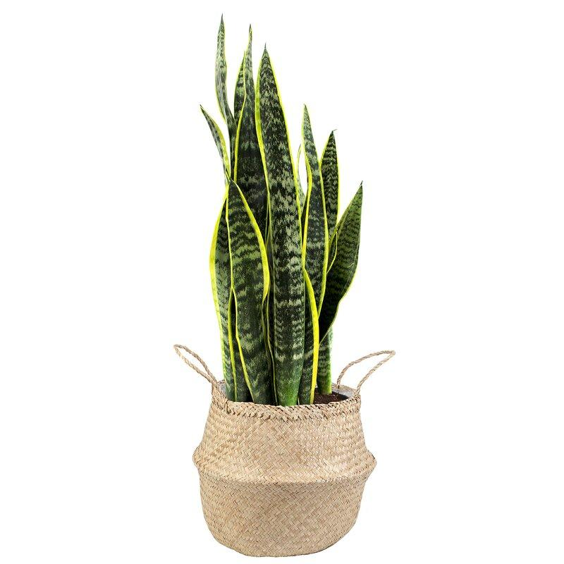"33 ""live snake plant in a basket (Photo credit: Wayfair)"
