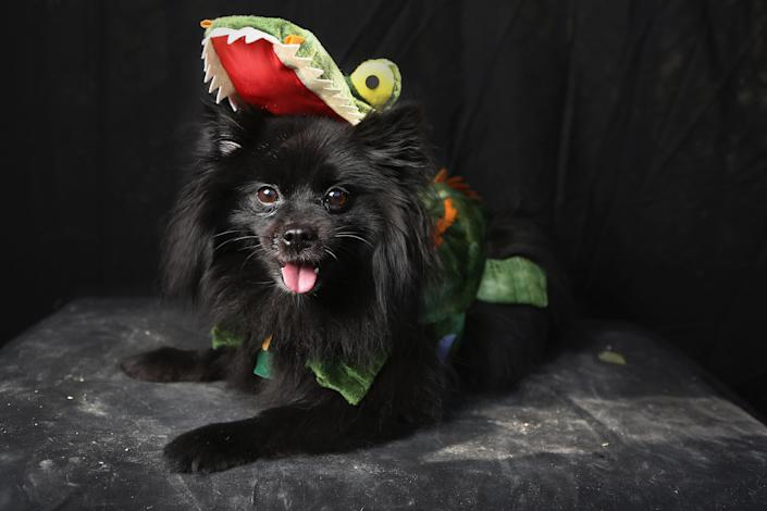 Preston, a Pomeranian, poses as a dragon at the Tompkins Square Halloween Dog Parade. (Photo by John Moore/Getty Images)