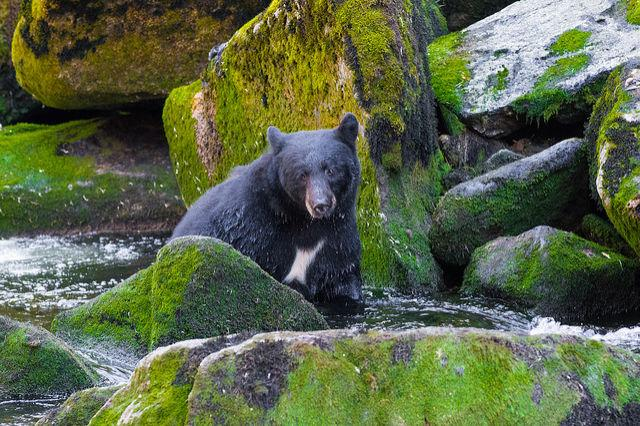 """<p>The<a rel=""""nofollow"""" href=""""http://www.wrangell.com/visitorservices/anan-bear-and-wildlife-observatory """">Anan Bear Observatory</a> offers a glimpse at one of nature's most majestic creatures. The viewing platform and photo blind are situated above cascading falls where salmon jumpright into the paws of bears.<span></span>(Flickr photo by <a rel=""""nofollow"""" href=""""https://flic.kr/p/hkkeYL """">Andrew E Russell</a>)</p><p><a rel=""""nofollow"""" href=""""http://www.goodhousekeeping.com/life/travel/g4213/50-stunning-animals-from-our-national-parks/""""><em>See 50 stunning animals from our National Parks»</em></a><span><a rel=""""nofollow"""" href=""""http://www.goodhousekeeping.com/life/travel/g4213/50-stunning-animals-from-our-national-parks/""""></a></span></p>"""