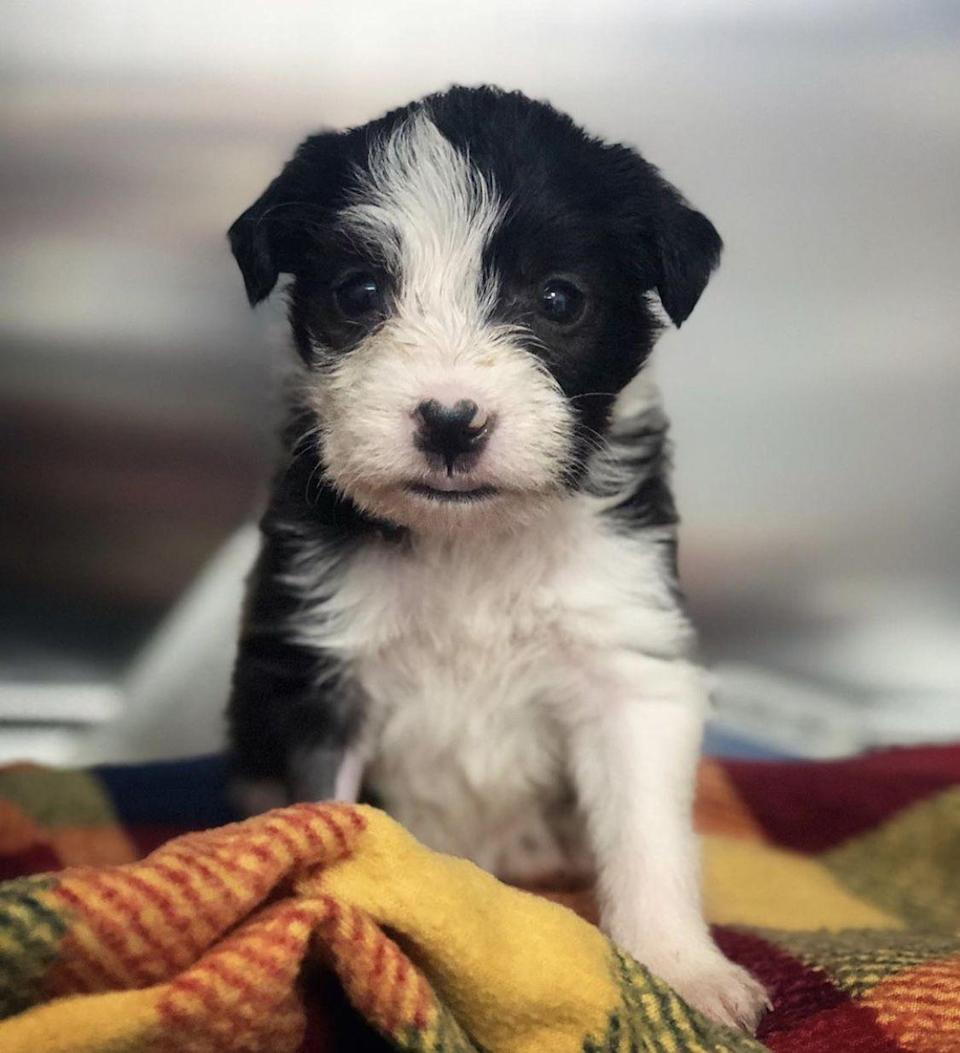"<p>We can't handle this adorable little Terrier mix <a href=""https://www.muttscouts.org/"" rel=""nofollow noopener"" target=""_blank"" data-ylk=""slk:Mutt Scouts"" class=""link rapid-noclick-resp"">Mutt Scouts</a> nugget!</p>"