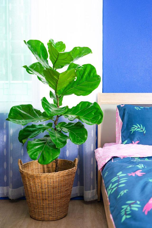 "<p>Don't worry if you can never remember to water your plants. The fiddle leaf fig tree can thrive without water for up to two weeks. <br><br><a class=""link rapid-noclick-resp"" href=""https://go.redirectingat.com?id=74968X1596630&url=https%3A%2F%2Fwww.etsy.com%2Flisting%2F790713665%2Flarge-fiddle-leaf-fig-ficus-lyrata-the&sref=https%3A%2F%2Fwww.goodhousekeeping.com%2Fhome%2Fgardening%2Fg32490113%2Fbest-aesthetic-plants%2F"" rel=""nofollow noopener"" target=""_blank"" data-ylk=""slk:SHOP NOW"">SHOP NOW</a></p>"