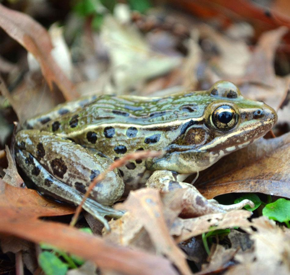 This undated photo provided by UCLA shows a new species of leopard frog, in the Staten Island borough of New York. So far, the new species has been positively identified on Staten Island but specimens of the species have also been found in parts of New Jersey and in counties north of New York City, all within commuting distance of Manhattan. (AP Photo/UCLA, Brian Curry)