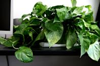 <p>In addition to excelling at removing formaldehyde from the air, this low-maintenance plant is hard to kill and great for novice gardeners.</p>