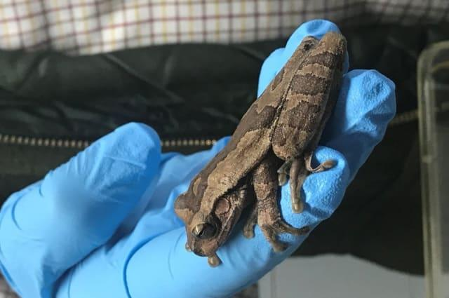 Costa Rican tree frog found in bunch of Lidl bananas
