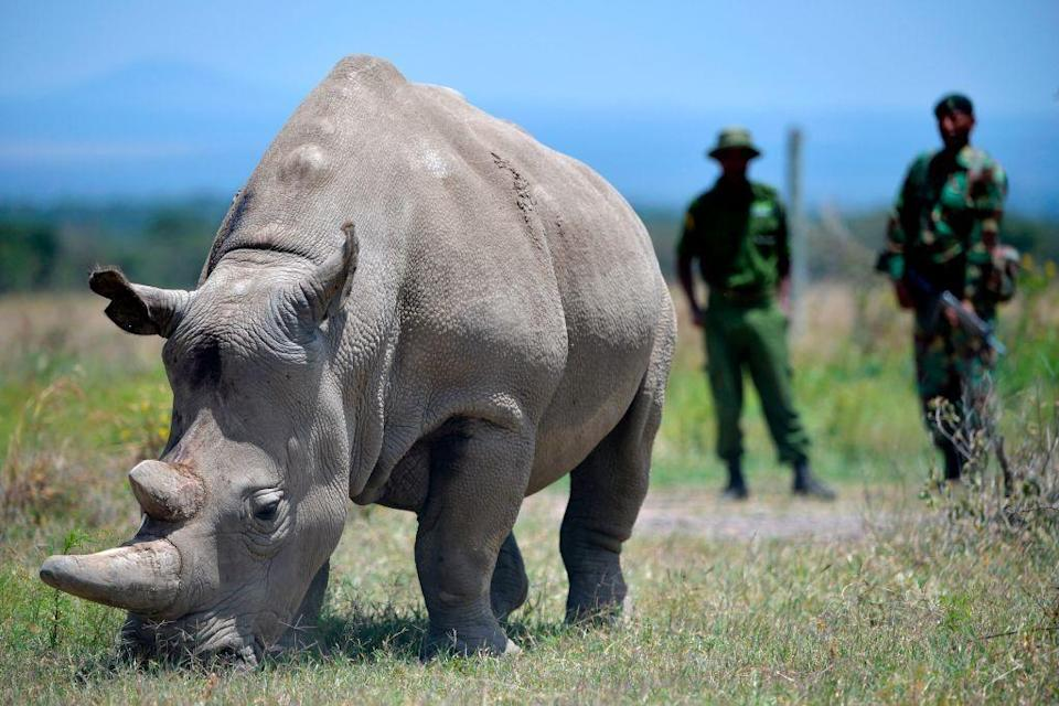 <p>The last two living northern white rhino's in existence happen to both be female as the last male died in March of 2018. Sudan, the 45-year old male was under armed guard at Kenya's Ol Pejeta Conservancy when he passed away from old age and an infection.</p><p>The two females are also unable to give birth, making the likelihood of introducing a new generation of the species highly unlikely. Scientists are working on using harvested sex cells and IVF to bring forth a lab-created northern white rhino.</p><p><strong>Cause of Extinction:</strong> poaching has decimated this population and loss of habitat also helped drive the rhino to the brink of extinction.</p>