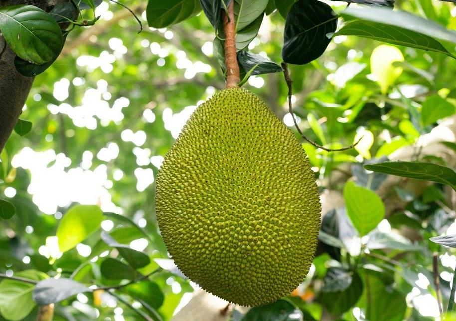 The main ingredient Wakao Foods uses is Jackfruit, which is high in fibre and is an incredibly versatile fruit