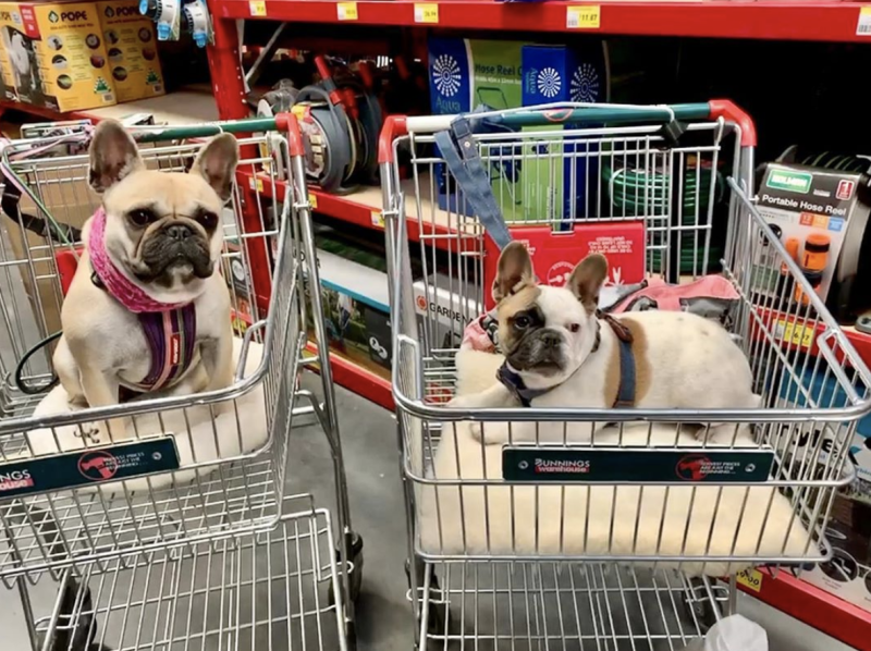Two French bulldogs in trolleys inside a Bunnings Warehouse store