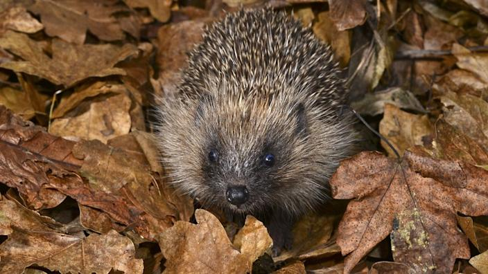 The hedgehog is deemed vulnerable to extinction in Britain