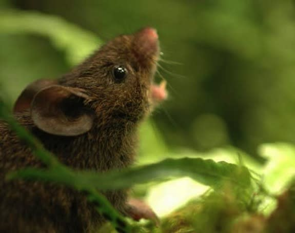 To Avoid Fights, Mice Sing to the Clouds