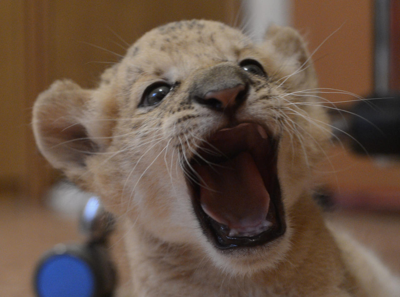 Female liliger cub Kiara, a hybrid between a lion and a ligress, at the Novosibirsk Zoo, in Novosibirsk, eastern Sibiria, Wednesday, Sept. 19, 2012. Kiara is the first female liliger born over a month ago at the Novosibirsk Zoo. Kiara's mother, Zita, stopped producing milk almost immediately after giving birth, so Zoo employees placed Kiara in a separate facility and feed her with a special milk mix. The cub plays with a house cat which also provides motherly warmth. (AP Photo /Ilnar Salakhiev)