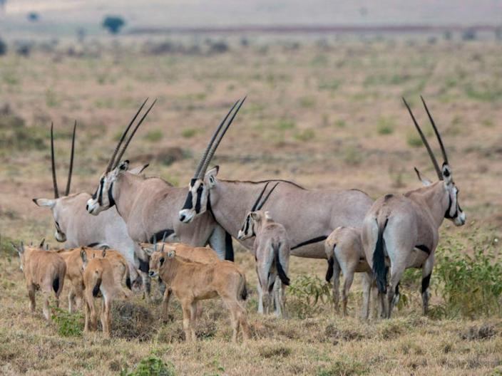 The East African oryx's horns are considered a lucky charm in some cultures.