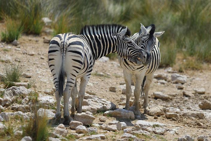 Two zebras play near the Sueda water hole on a sun-baked afternoon in Etosha National Park. Temperatures reached well over 100 degrees on many days I was in the park. (Photo: Gordon Donovan/Yahoo News)