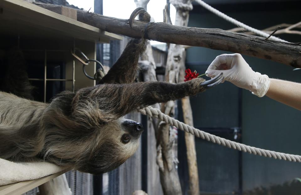 Fernando, the two-toed sloth, reaches out for a red rose to eat inside his habitat at the Phoenix Zoo Monday, April 27, 2020, in Phoenix. The pandemic has jeopardized zoos around the world that have been forced to close but rely on ticket sales. The struggle has some zoos turning to social media to engage with people who can no longer visit and raise some much-needed cash. (AP Photo/Ross D. Franklin)