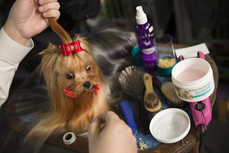 Jordan, a Yorkshire terrier, is prepped in the benching area during the Westminster Kennel Club dog show, Monday, Feb. 10, 2014, in New York. (AP Photo/John Minchillo)