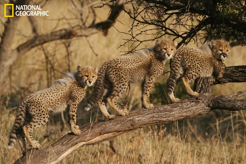 """As the three cheetah cubs at Phinda Game Reserve (KwaZulu Natal, South Africa) played around their watchful mother, one by one they ran up the tree branch and lined up in a beautiful pose, as if to say ""we are ready for primetime!"" <br><br>(Photograph Courtesy Dumith Fernando / National Geographic Your Shot)"