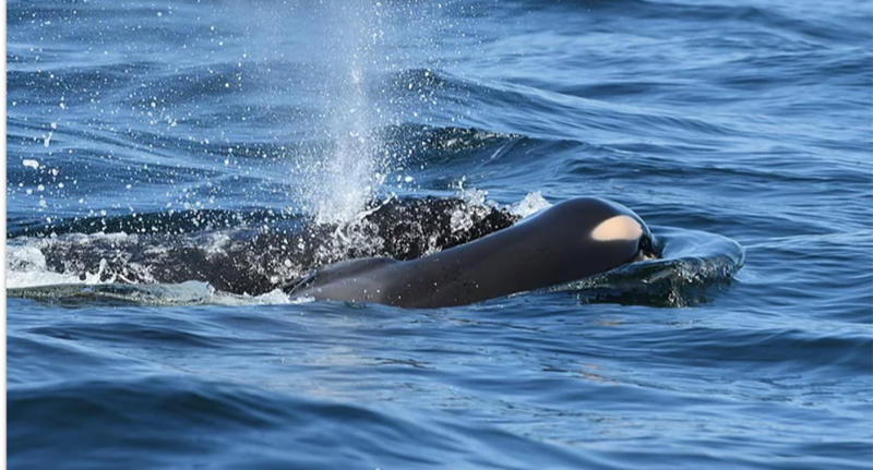 Killer whale carries dead calf for week during 'deep grieving'
