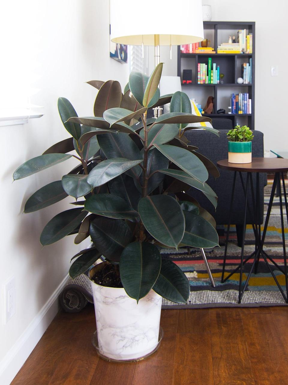<p>More than a focal point in your living room, ficus' are also great at increasing oxygen levels in the air. </p>