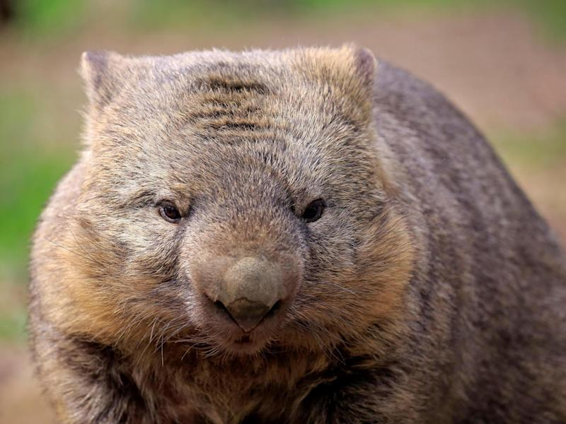 Wombats are the only animals that produce cuboid poo: Rex