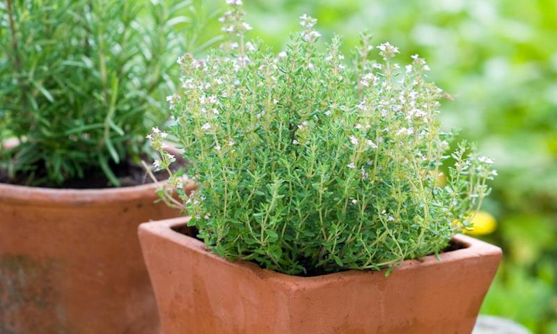 Terracotta Plants Pots of Garden Thyme (Thymus vulgaris) and Rosemary (Rosmarinus officinalis)