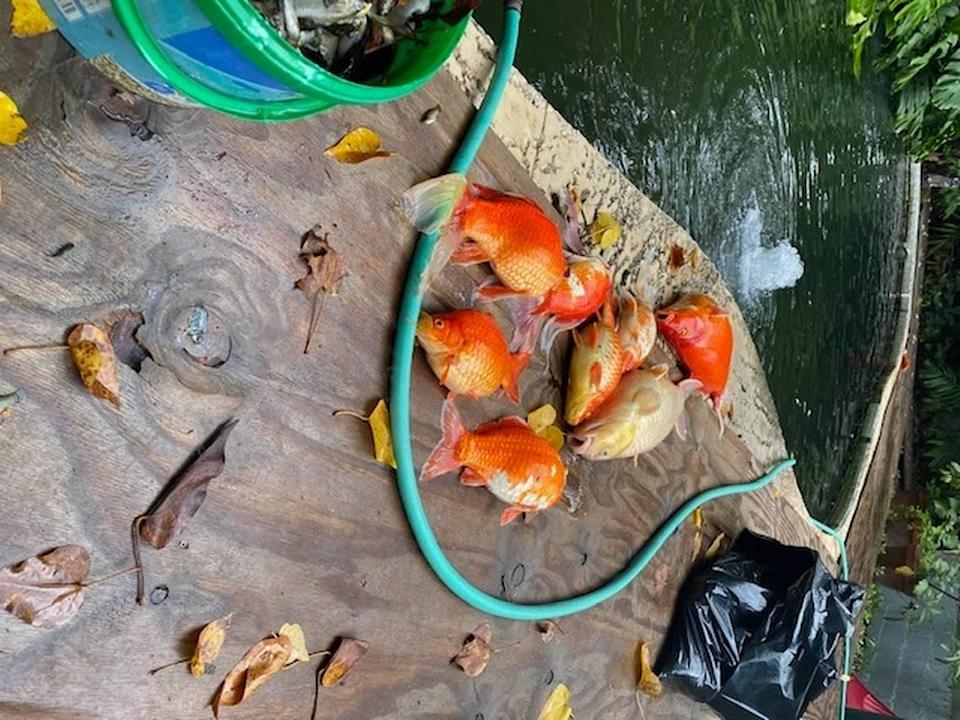 Dead koi removed from Florence Danly's pond.