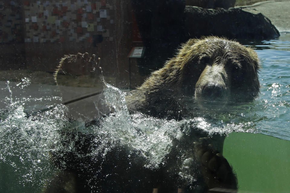 A bear swims in his habitat at the Oakland Zoo on July 2, 2020, in Oakland, Calif. Zoos and aquariums from Florida to Alaska are struggling financially because of closures due to the coronavirus pandemic. Yet animals still need expensive care and food, meaning the closures that began in March, the start of the busiest season for most animal parks, have left many of the facilities in dire financial straits. (AP Photo/Ben Margot)