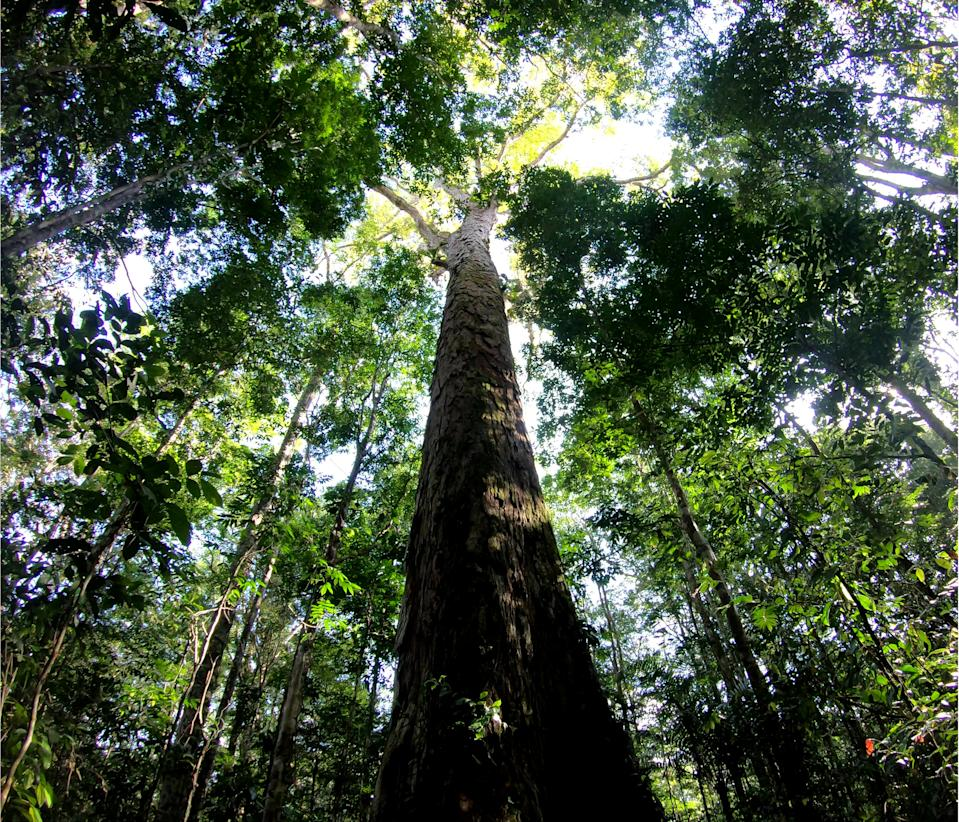 The tallest tree in the Amazon A team of researchers delved deep within the Amazon forest on an 11 day expedition where they uncovered a group of giant trees (SWNS)