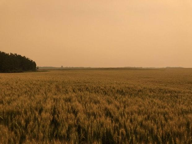 A canola field under an eerie orange sky in 2018 near Lloydminster from forest fires.  (Suppled by James Oberhofer  - image credit)
