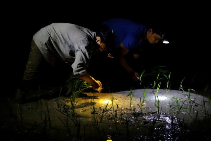Farmers plant rice on a paddy field during early morning to avoid the heat in Hanoi