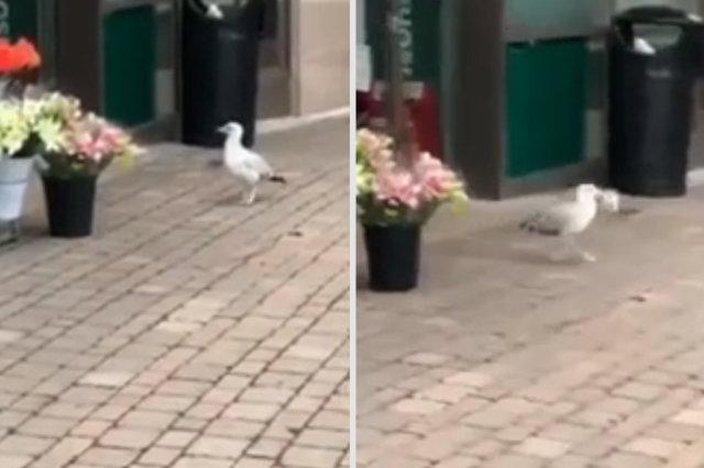 Security guard films damning footage of seagull who she says shoplifts from the same store every day