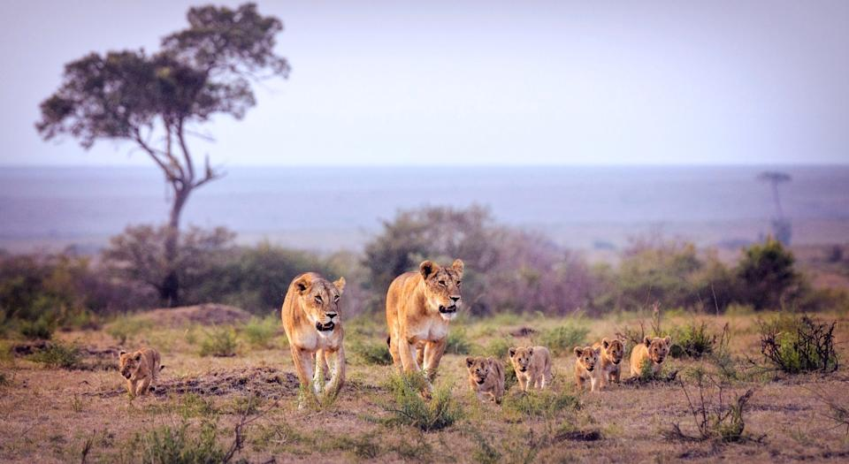 Lionesses and cubs in Kenya's Maasai Mara - Getty