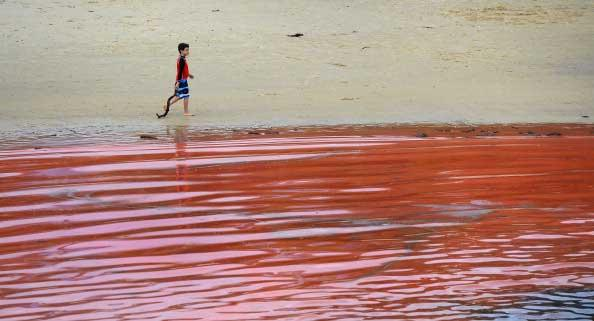 A boy walks past the red algae bloom discolouring the water