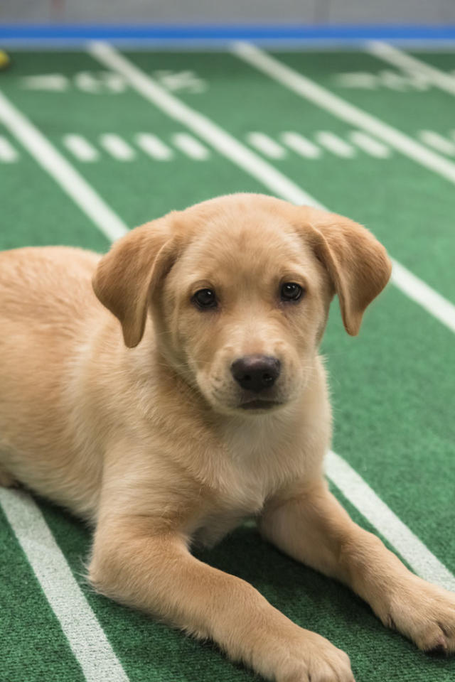 Dogs playing on the field during Puppy Bowl IX.