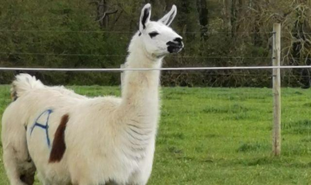 What is COVID immunotherapy from a llama?