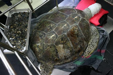 FILE PHOTO : Omsin, a 25 year old femal green sea turtle, rests next to a tray of coins that were removed from her stomach at the Faculty of Veterinary Science, Chulalongkorn University in Bangkok