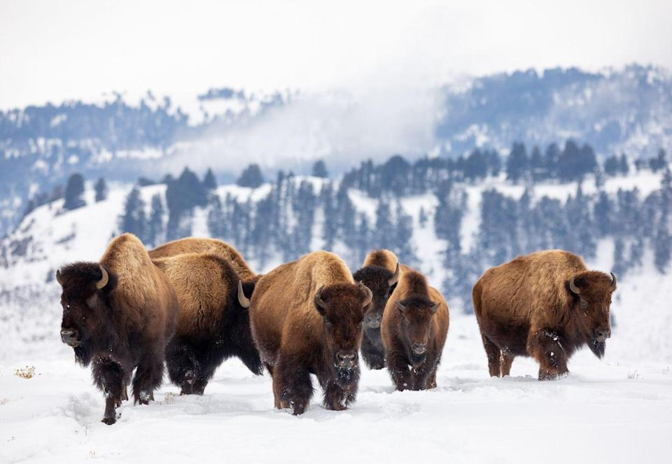 <p>A herd of American bison in Yellowstone National Park.</p>