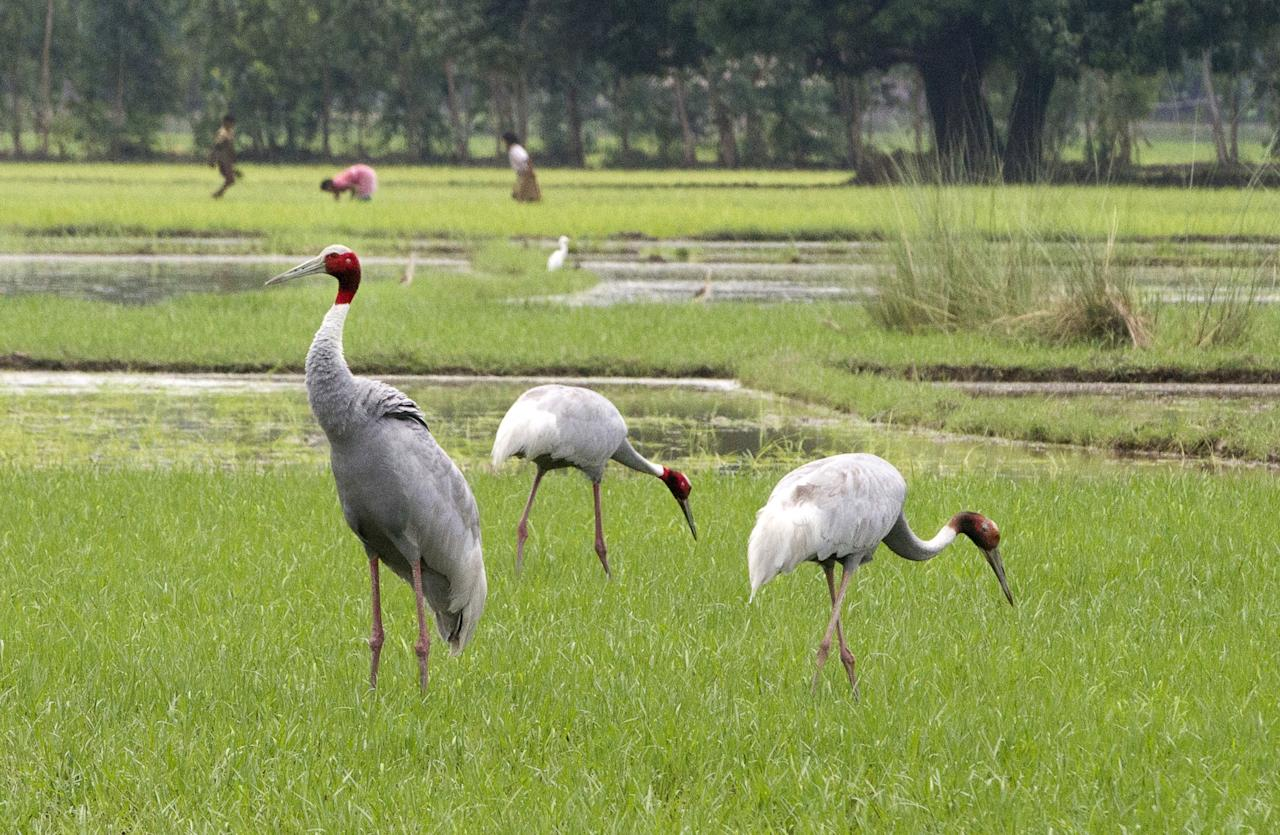 <p>Indian women work in a field as Sarus cranes look for food on the outskirts of Lucknow, India. (AP Photo/Rajesh Kumar Singh) </p>