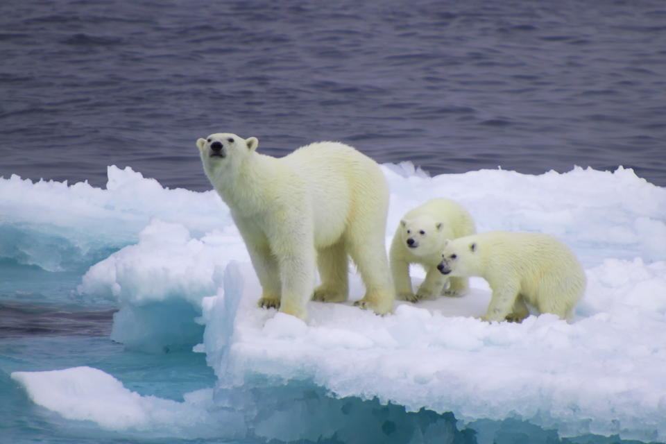 Female polar bear with her two cubs on drifting iceberg in Barents Sea, Russia.